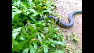 Iruthalamoori  indian Snake.3gp