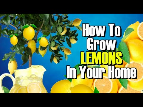 HOW TO GROW A LEMON TREE FROM SEED WORKS EVERY TIME