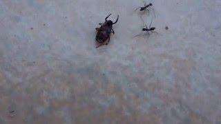 Ameisen transportieren einen Käfer, ants carry a bug