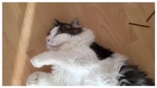 Lockige Katze geniesst etwas Abkühlung