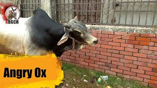Angry Deshi Ox || Cow Unloading 09 || RBCGH || Qurbani 20