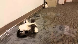 Kittens playing on Overhead Projector Slides