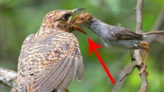 اعرف اكثر| لن ترى اخبث من هذا الطائر!