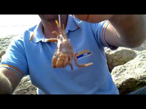 Anzuelado de un cangrejo Crab Granchio Caranguejo verde o Coñeta