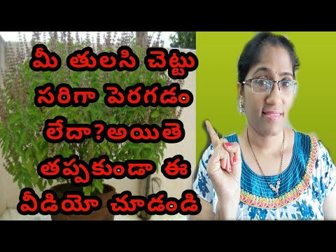 Tulasi plant growing tips tulsi plant care tulasi plant growing in telugu tulasi mokka ela penchali