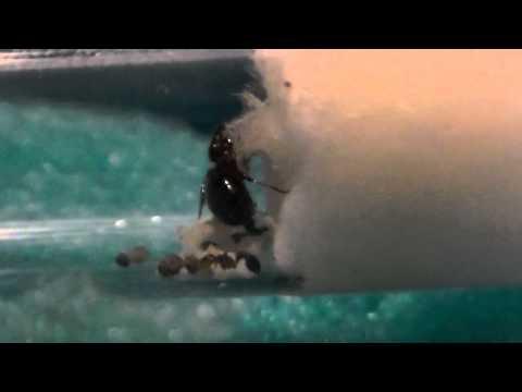 hormiga reina crematoganster con sus larvas y nurses con 1er dia