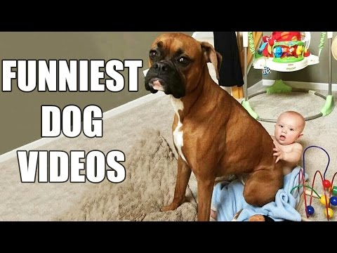 Xxx Mp4 Try Not To Laugh Challenge Funny Dogs Compilation MUST SEE Funny Dog Videos Vines 2016 3gp Sex