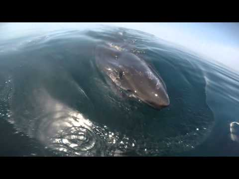 Huge Great White Shark circles the boat and feeds on a Whale