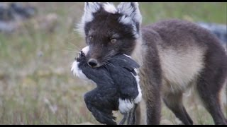 Fox Feasts on Baby Guillemots | Nature