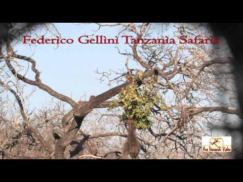 ARS VENANDI VIDEO GELLINI TANZANIA SAFARIS.mpg