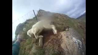 Trying To Save A Sheep Gone Wrong