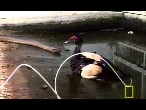 National Geographic Super Snake Anacondas & Pythons