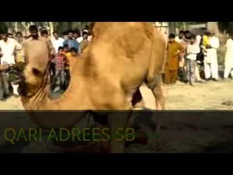 camel ki qurbani in phalia shuhda masjid