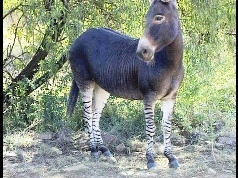 Xxx Mp4 Donkey And Zebra Love Meet The Zonkey 3gp Sex