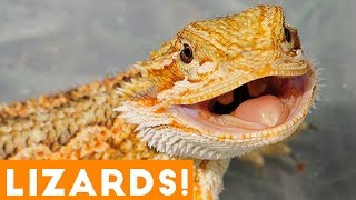 Ultimate Funny Lizard Compilation of 2018   Funny Pet Videos