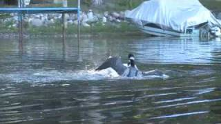 Loon Fight: Two males in a territorial battle