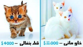 """أغلى 10 قطط فى العالم  """" تكلف ثروة لشرائها """" .. !!"""