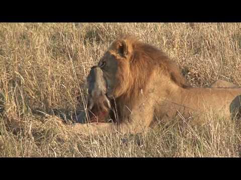 Savuti lions kill a warthog HD version