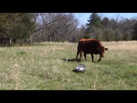 RC Jeep vs Cows