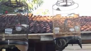 Kicauan Burung Kecial Kombo Part.1 Download Mp3 Mp4 3GP HD Video