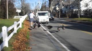 Turkeys Attack Falmouth mailman