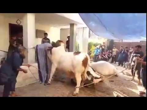 Astagfurillah Anari Qasai how Shamefull Qurbani 2015 EID UL ADHA