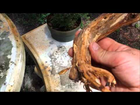 Tanuki Bonsai video how to