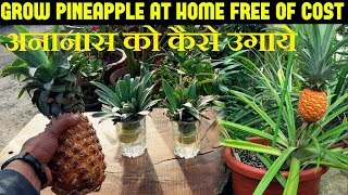 How To Grow Pineapples At Home   अनानास को कैसे उगाये (With English Subtitles)