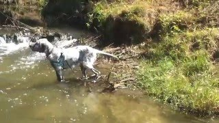 Ajka english setter is going to the river Sutla