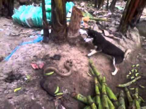 Pelea Culebra vs perro