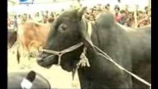 funny cow natok