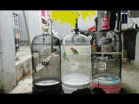 HINDARI!!! 3 KEBIASAAN INI DALAM MERAWAT BURUNG LOVEBIRD