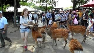 Hungry deers in Nara park - Japan