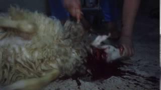 ذبح خروف بأحتراف .شجاع