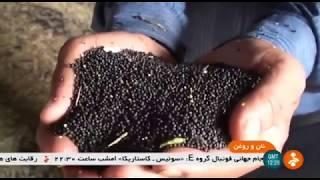 Iran Mechanized Canola harvest, Kord-Abad village, Ali-Abad county كلزا روستاي كردآباد علي آباد كتول