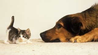 Dogs Meeting Baby Kittens For The First Time Compilation 2017 [BEST OF]