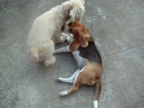 Cachorra Beagle não está no cio e cachorro a procura direto.MOV