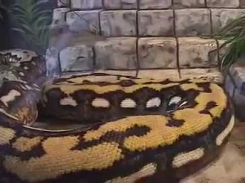 STRIKE World s Largest Snake Guinness Records 2011 Strikes Coils Attack Big Scary
