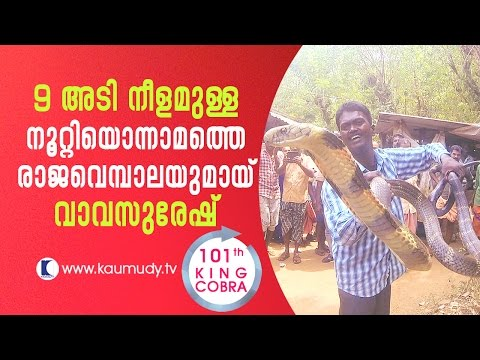 Vava Suresh with 9-feet long King Cobra, his 101th catch | Snake Master EP #236 | Kaumudy TV