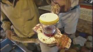 Effet du venin sur le sang humain . Effect of venom on human blood