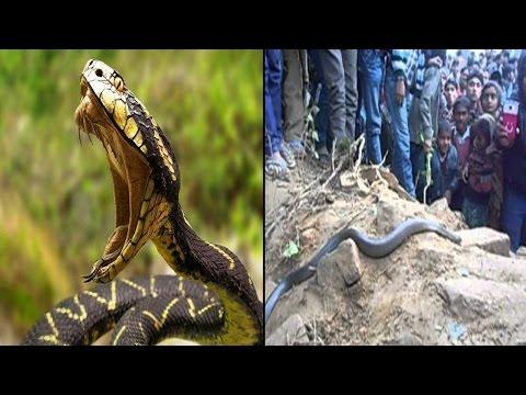 इस इच्छाधारी सांप की बजह से लोगो ने छोडा गांव  UP: Ichchadhari Naag (Snake) Creates Panic In Village