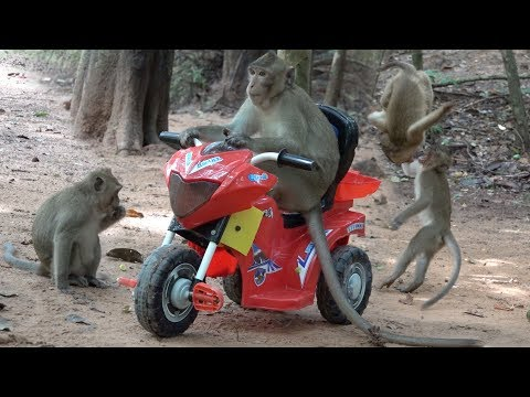 Xxx Mp4 Wow Monkeys Flying Motorcycle The Adult Monkeys Love Playing RC Motorcycle As Human Kids 3gp Sex