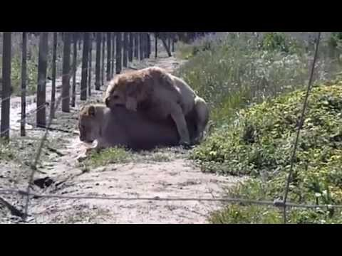 Xxx Mp4 Lions Having Sex Lions Mating Video South Africa 3gp Sex