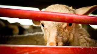The short life of lambs - Animal Equality Undercover Investigation