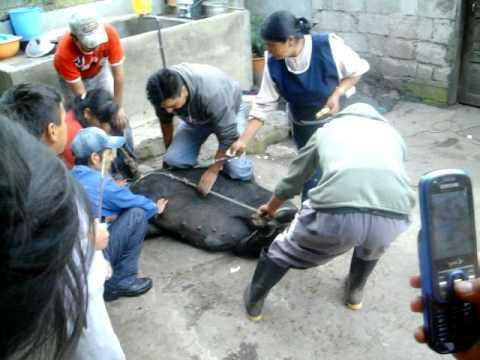 carnabaleros no pueden matar un chancho en pangor 2010