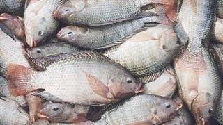طريقة تنظيف السمك How to Clean/Gut a Fish