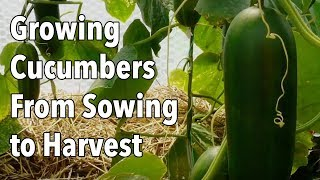 Growing Cucumbers From Sowing to Harvest