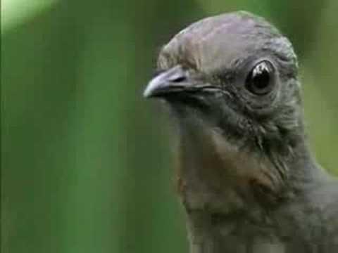 El pájaro que imita sonidos.