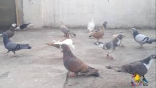 New Pigeons Add in Gola Kabootar Toli
