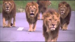 Sher song lion song PMLN Song